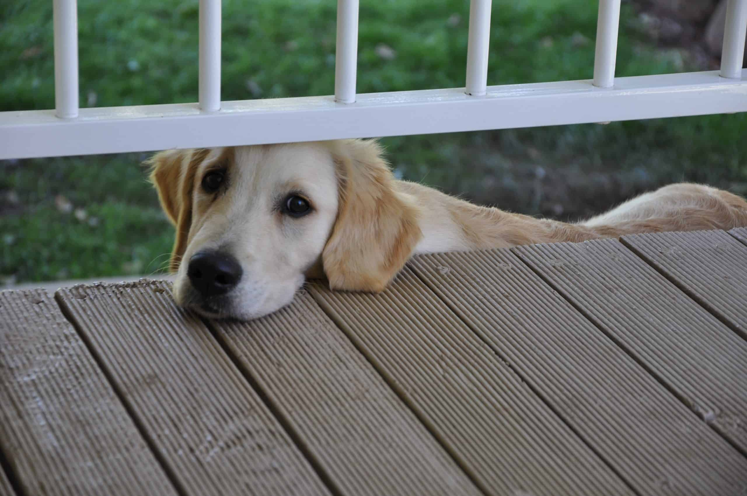Golden retriever pup sitting on stairs