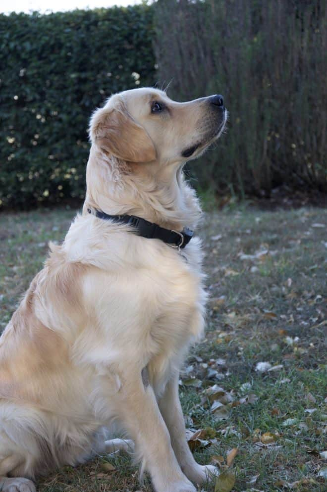 Cooper, our Golden Retriever dog - looking very attentive as he waits for a treat