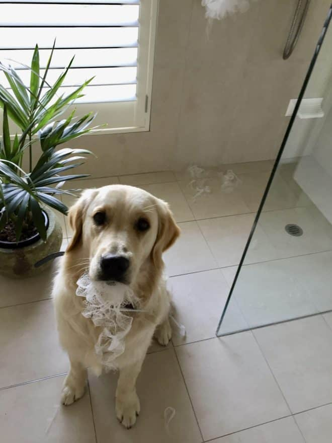 golden retriever pup in bathroom with a mouth full of a bath sponge he has chewed